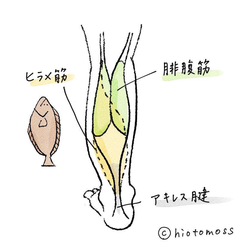 筋肉,図解,イラスト