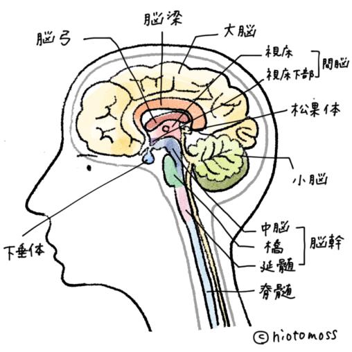脳,イラスト